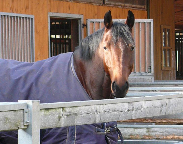 Übermäßiges Eindecken kann bei Pferden zu Überhitzung führen und die natürliche Thermoregulation nachhaltig stören, so britische Tierärzte.